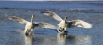Trumpeter Swans Royalty Free Stock Photo