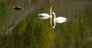 Trumpeter Swans Wild Birds Mating Pair Autumn Alaska Lake. A calm lake supports two Trumpeter Swans during the fall in Alaska Stock Photo