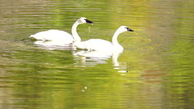 Trumpeter Swans Wild Birds Mating Pair Autumn Alaska Lake. A calm lake supports two Trumpeter Swans during the fall in Alaska stock video
