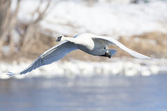 Trumpeter Swans with wings extended Stock Photography