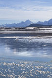 Trumpeter Swans in Winter. Pair of trumpeter swans in the Chilkat river in Southeast Alaska in winter Stock Photos