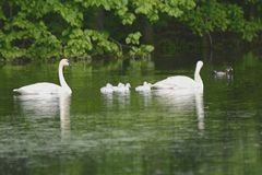 Trumpeter Swans And Wood Duck On A Pond Royalty Free Stock Photography