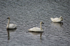 Trumpeter Swans, Yellowstone National Park. Three Trumpeter Swans are swimming in Yellowstone River of Yellowstone National Park in Wyoming, USA Royalty Free Stock Photos