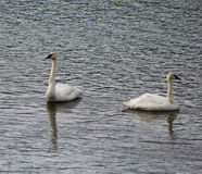 Trumpeter Swans, Yellowstone National Park. Two Trumpeter Swans are swimming in Yellowstone River of Yellowstone National Park in Wyoming, USA Stock Image