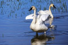 Trumpeter swans in Yellowstone National Park, Wyoming. Trumpeter swans Cygnus buccinator in Yellowstone National Park, Wyoming, USA royalty free stock photo