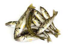Trumpeter Winter Whiting Royalty Free Stock Photos