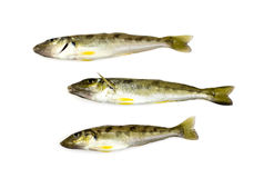 Trumpeter Winter Whiting Royalty Free Stock Photography
