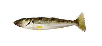 Trumpeter Winter Whiting. Sillago maculata has a silvery grey back with dark blotches on the sides Royalty Free Stock Photo