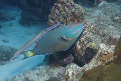 Trumpetfish затеняя Parrotfish Stoplight - Бонайре Стоковые Изображения RF