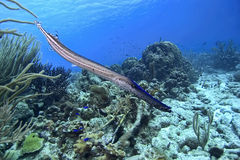 Trumpetfish Stock Images
