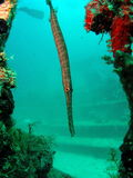 TrumpetFish Royalty Free Stock Photo