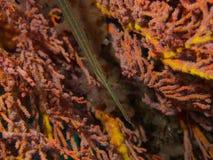 Trumpetfish Στοκ Εικόνες