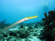 Trumpetfish Fotos de Stock Royalty Free