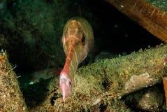 Trumpetfish in Ambon, Maluku, Indonesia underwater photo Stock Photo