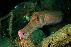 Trumpetfish in Ambon, Maluku, Indonesien-Unterwasserfoto Stockfotos