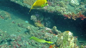 Trumpetfish (Aulostomus chinensis) swimming underwater in the Bali Sea. stock video