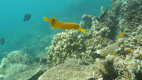 Trumpetfish Aulostomus chinensis swimming underwater in the Bali Sea stock video