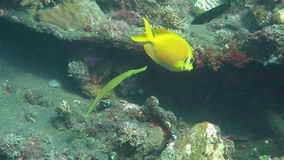 Trumpetfish Aulostomus chinensis swimming underwater in the Bali Sea stock video footage