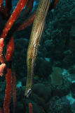 Trumpetfish (Aulostomus maculatus) Stock Photos