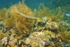 Trumpetfish Aulostomus maculatus underwater Royalty Free Stock Photos