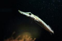 Trumpetfish chinês Fotografia de Stock Royalty Free