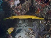 Trumpetfish chino fotos de archivo