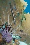 Trumpetfish and Common Sea Fan Royalty Free Stock Photo