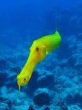 Trumpetfish de oro Fotos de archivo libres de regalías