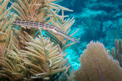 Trumpetfish royalty free stock image