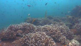 Trumpetfish em um recife de corais colorido 4K video estoque