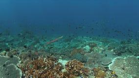 Trumpetfish em um recife de corais colorido 4K filme