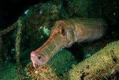 Trumpetfish i Ambon, Maluku, Indonesien undervattens- foto Arkivfoton