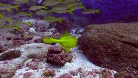 Trumpetfish looks really like trumpet. Galapagos island stock video footage