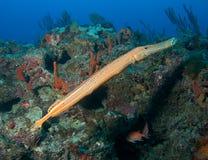 Trumpetfish op een Ertsader royalty-vrije stock afbeelding