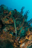 Trumpetfish on a Reef Stock Image