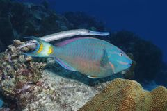 Trumpetfish shadowing a Stoplight Parrotfish - Bonaire. Trumpetfish Aulostomus maculatus disguising itself by shadowing a Stoplight Parrotfish Sparisoma viride royalty free stock images
