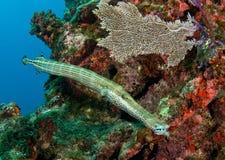 Trumpetfish sul bordo dello snapper Immagini Stock