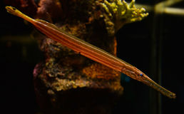Trumpetfish Royalty Free Stock Photography