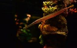 Trumpetfish Stock Photos