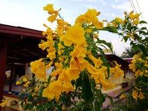 Trumpetflower lizenzfreies stockfoto