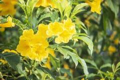 Trumpetflower of Gele trompet-bloem Mooi in de tuin royalty-vrije stock afbeelding