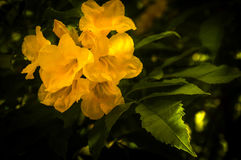 Trumpetflower or scientific name is tecoma stans Stock Photo