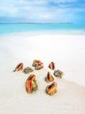 Trumpetsnäcka på stranden Arkivfoton