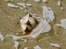 Trumpetsnäckaskal på den Holden stranden, North Carolina Arkivfoto