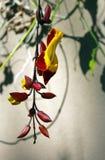 Trumpetvine Майсура или индийское mysorensis ŒThunbergia ¼ vineï часов стоковые изображения