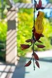 Trumpetvine Майсура или индийское mysorensis ŒThunbergia ¼ vineï часов стоковое изображение rf
