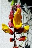 Trumpetvine Майсура или индийское mysorensis ŒThunbergia ¼ vineï часов стоковое изображение