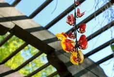 Trumpetvine Майсура или индийское mysorensis ŒThunbergia ¼ vineï часов стоковые фото