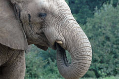 Trumpf, der Elefanten saugt Lizenzfreies Stockfoto
