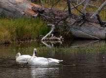 Trumpter Swan Watching Otter. Trumpter Swan watching North American River Otter swim by in Yellowstone National Park, Wyoming stock image
